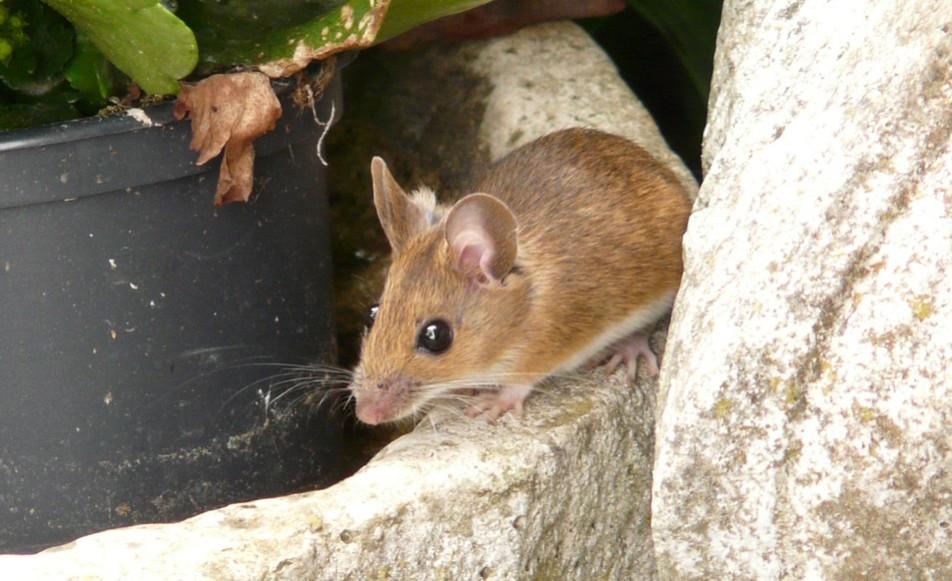 Bruine muis in tuin - bestrijden doe je zo