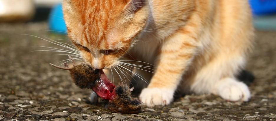 katten vangen en eten muizen