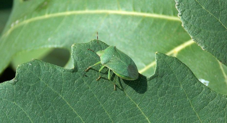 groene schildwants op een groen blad