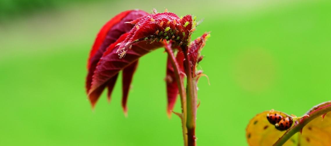 Bladluizen rode vlieg en lieveheersbeestjes op plant