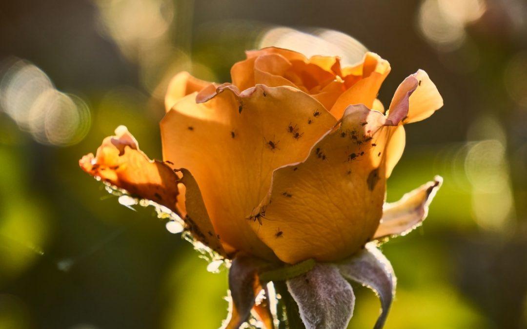 Hoe voorkom en bestrijd je schade aan je planten door ongedierte?