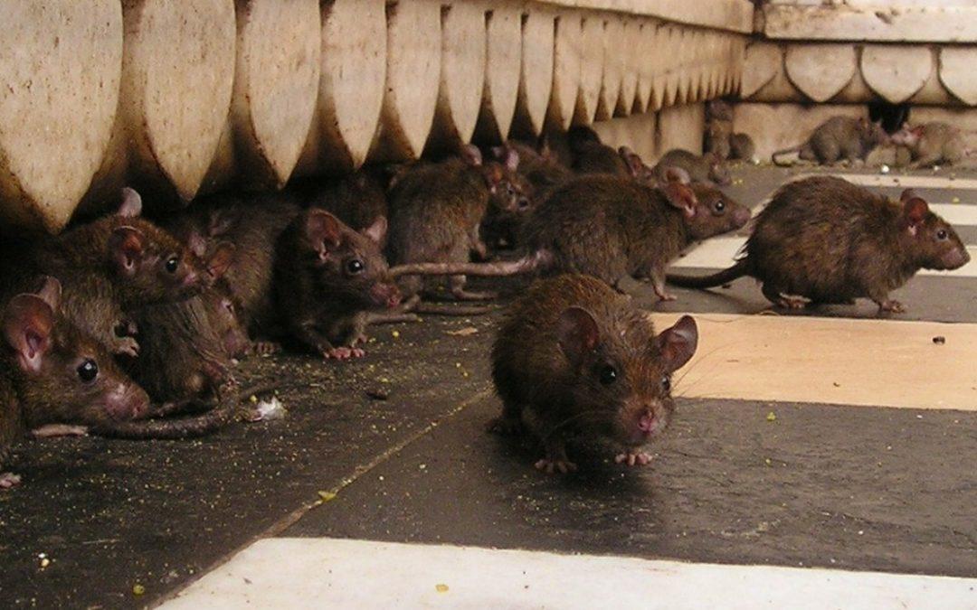 Ratten bestrijden tips